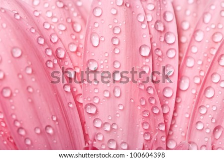 Closeup pink gerbera daisy flower with water drops