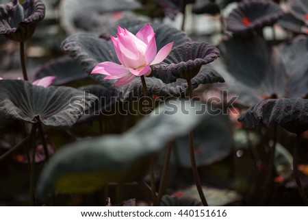 Closeup Pink lotus blossoms or water lily flowers blooming on pond - stock photo