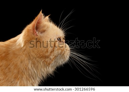 Closeup Portrait Exotic ginger cat in Profile view on Black background - stock photo