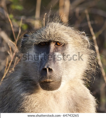 Closeup portrait of a baboon in the morning sun - stock photo
