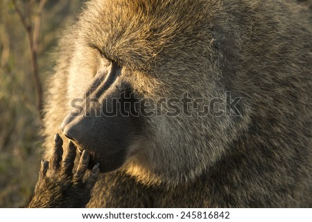 Closeup portrait of a back lit olive baboon licking its fingers, at Serengeti National Park, Tanzania - stock photo