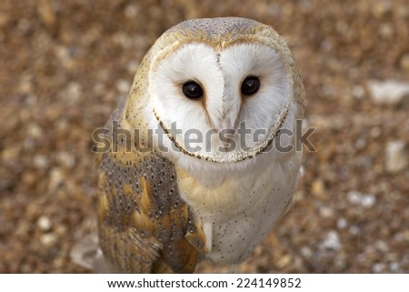 closeup portrait of a barn owl - stock photo