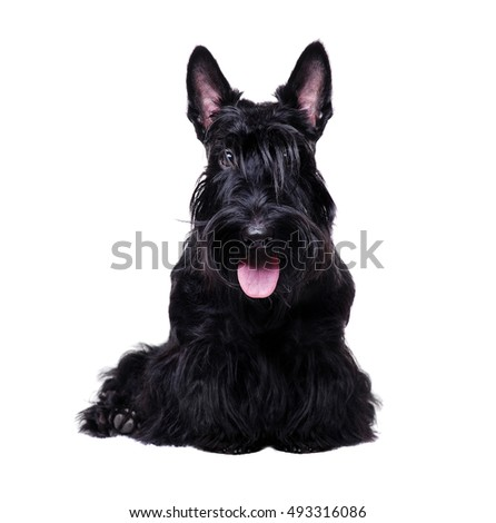 Closeup portrait of a black scottish terrier on white background