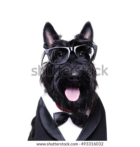 Closeup portrait of a black scottish terrier wearing business outfit