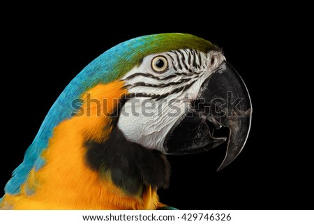 Closeup Portrait of a Blue and Yellow Macaw Parrot Face Isolated on Black Background - stock photo