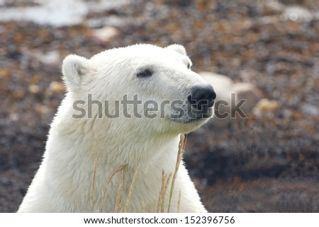 Closeup portrait of a Canadian polar bear in the arctic tundra of Churchill, Manitoba in summer - stock photo