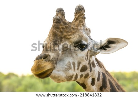 closeup portrait of a giraffe - stock photo