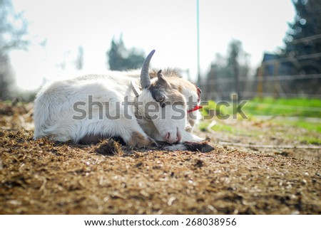 Closeup portrait of a goat, outside in a courtyard - stock photo