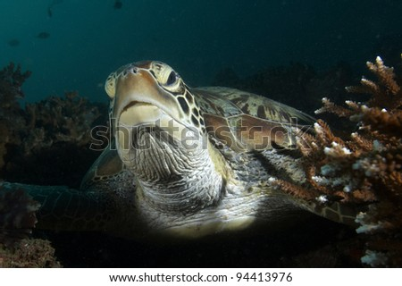 Closeup portrait of a green sea turtle (Chelonia mydas)