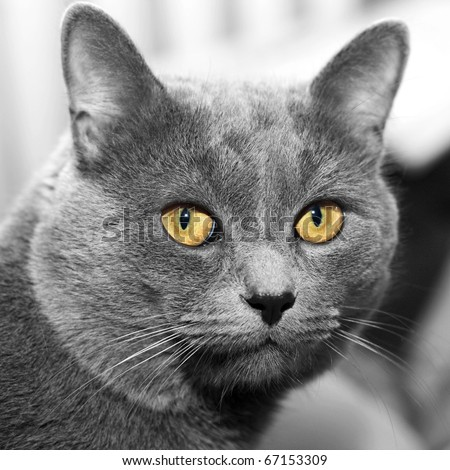 closeup portrait of a grey cat with the big yellow eyes