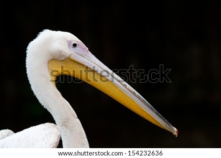 Closeup portrait of a pelican isolated on black background - stock photo