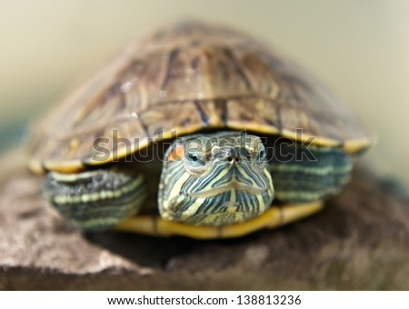 closeup portrait of a red-ear turtle blurred background - stock photo