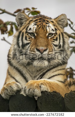 Closeup portrait of a siberian tiger. - stock photo