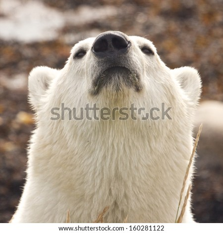 Closeup portrait of a sniffing Canadian Polar Bear in the Arctic tundra of the Hudson Bay near Churchill, Manitoba, in summer - stock photo
