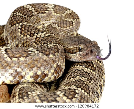 Closeup portrait of a Southern Pacific Rattlesnake. Isolated on white background. - stock photo