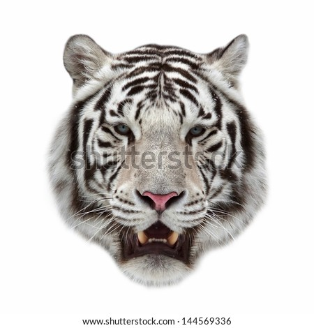 Closeup portrait of a white bengal tiger with open chaps - stock photo