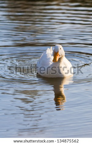 closeup portrait of a wild duck swimming in a pond - stock photo
