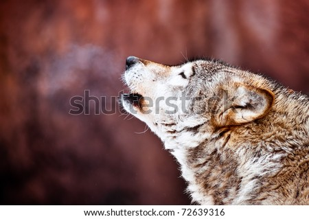 Closeup portrait of a wild howling wolf - stock photo