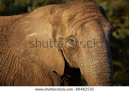 Closeup portrait of an African Elephant in the early evening light