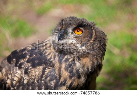Closeup portrait of an great European Owl