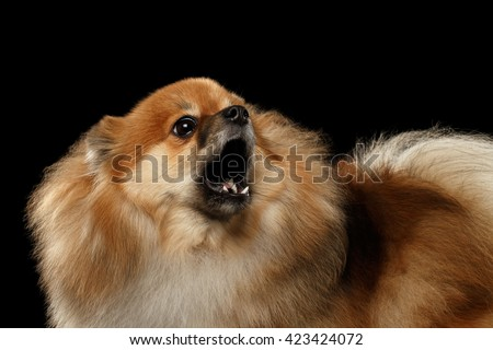 Closeup Portrait of Barking Angry Red Pomeranian Spitz Dog  isolated on Black Background, Front view - stock photo