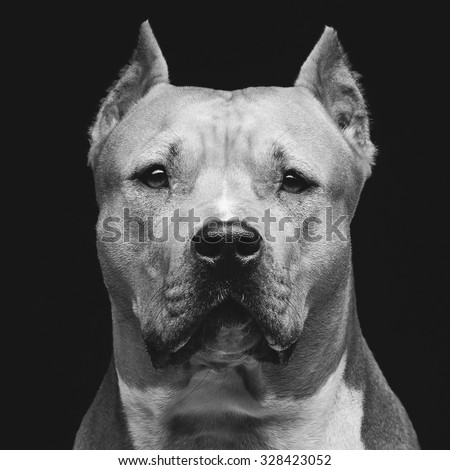 Closeup portrait of beautiful adult purebred staffordshire bull terrier over black background - stock photo