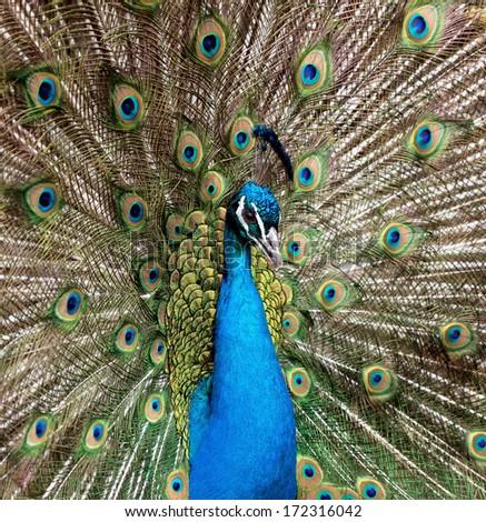 Closeup portrait of beautiful peacock - stock photo