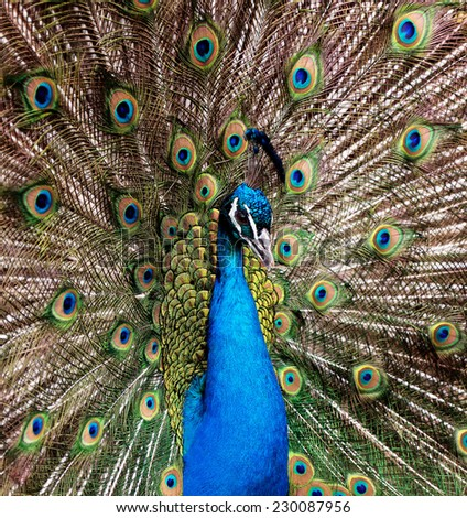 Closeup portrait of beautiful peacock - stock photo