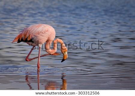 Closeup portrait of beautiful pink flamingo an its reflection in the Galapagos Islands, Ecuador - stock photo