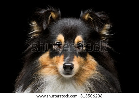 Closeup portrait of beautiful pure breeded Shetland Sheepdog. Over black background - stock photo
