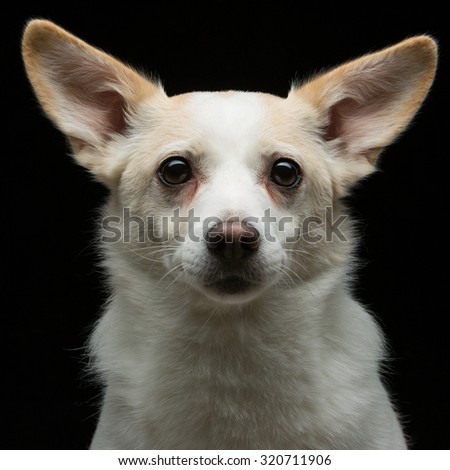 Closeup portrait of beautiful white half-bred dog over black background