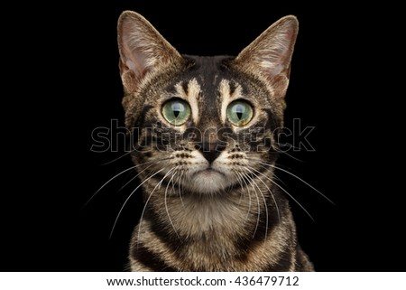Closeup Portrait of Bengal Cat with Dark Fur and Green eyes isolated on Black Background - stock photo