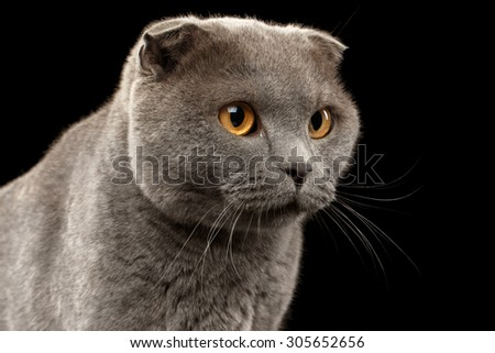 Closeup Portrait of British Fold Cat on Black background - stock photo