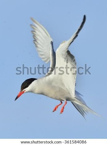 Closeup Portrait of Common Tern (Sterna hirundo). Adult common tern in flight on the blue sky background. Blue Sky background - stock photo