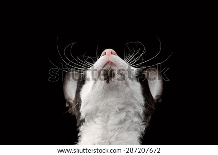 Closeup Portrait of Cornish Rex Looking Up Isolated on Black Background - stock photo