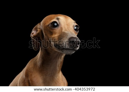 Closeup Portrait of Cute Italian Greyhound Dog Looking up isolated on Black background, Front view - stock photo