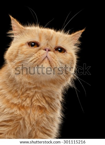 Closeup Portrait of Exotic ginger cat on Black background - stock photo