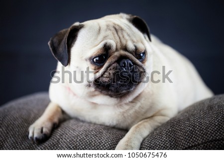 Closeup Portrait of Funny Pug Dog Curious Looking up in front of the Black Isolated Background