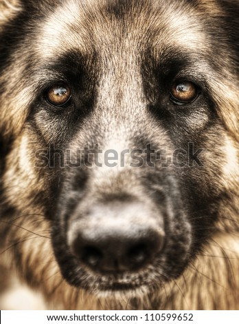 Closeup portrait of german shepherd, cute adult domestic animal, best friend for human, beautiful pedigreed dog face - stock photo