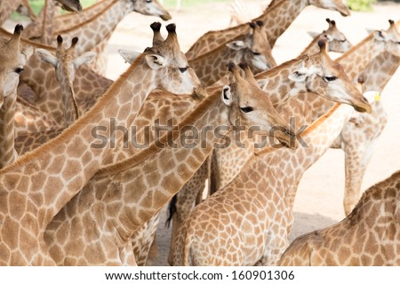 closeup portrait of giraffe in nature - stock photo