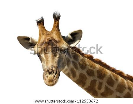 closeup portrait of giraffe isolated on white - stock photo