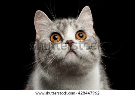 Closeup Portrait of Gray Scottish Straight Cat Looking up Isolated on Black Background - stock photo