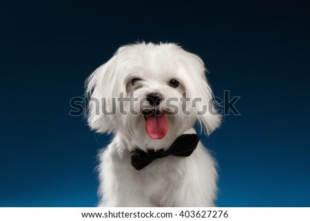 Closeup Portrait of Happy White Maltese Dog Looking in Camera isolated on blue background - stock photo