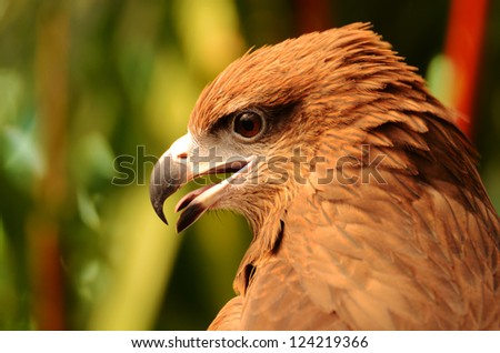 Closeup portrait of hawk - stock photo