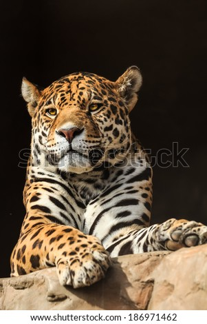 Closeup portrait of jaguar or Panthera onca a predator from Amazon jungle in South America - stock photo