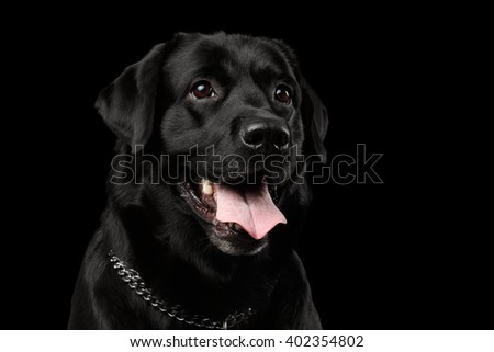 Closeup Portrait of Labrador Dog, Kind Looking, Front view,  Isolated on black background - stock photo