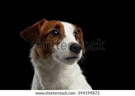 Closeup Portrait of look within Jack Russell Terrier Puppy isolated on Black background - stock photo