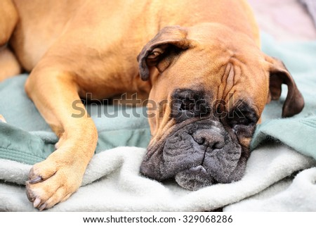 Closeup portrait of one large cute friendly pedigreed boxer pet with sweety kind look and sad eyes lying on grey blue blanket indoor, horizontal picture