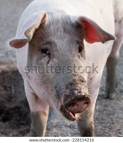 closeup portrait of pig standing on animal farm background - stock photo