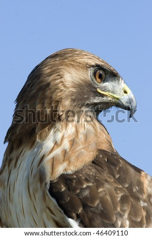 closeup portrait of red tailed hawk - stock photo